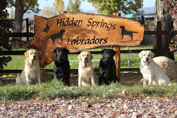 labrador retriever hunting dog