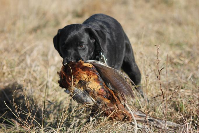 this english labrador puppy is a master hunter