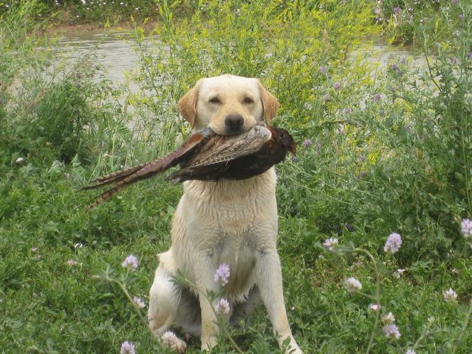 English Labrador puppies . Champion master hunter.