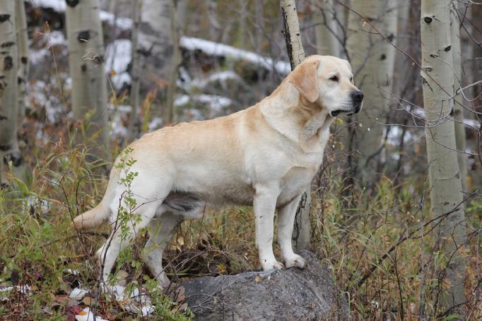 labrador retriever hunting dogs
