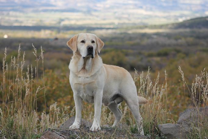 dual purpose labrador retrievers