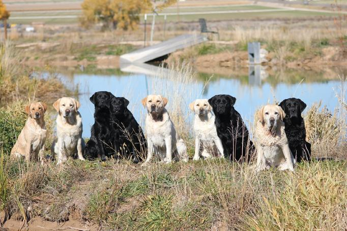 english labrador retriever puppies that hunt and show